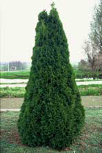 Grmicek_Thuja_occidentalis_smaragd
